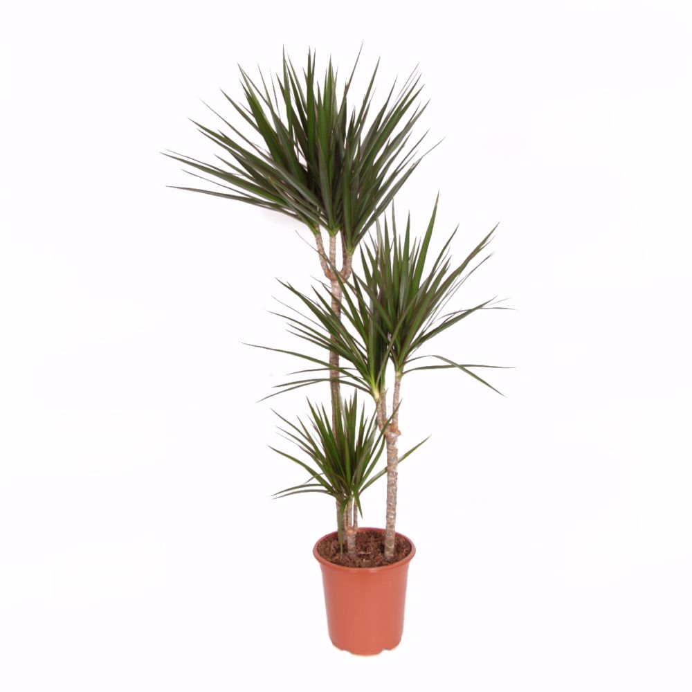 dracaena marginata 3 pieds en pot de 21cm hauteur avec pot 110cm gamm vert. Black Bedroom Furniture Sets. Home Design Ideas