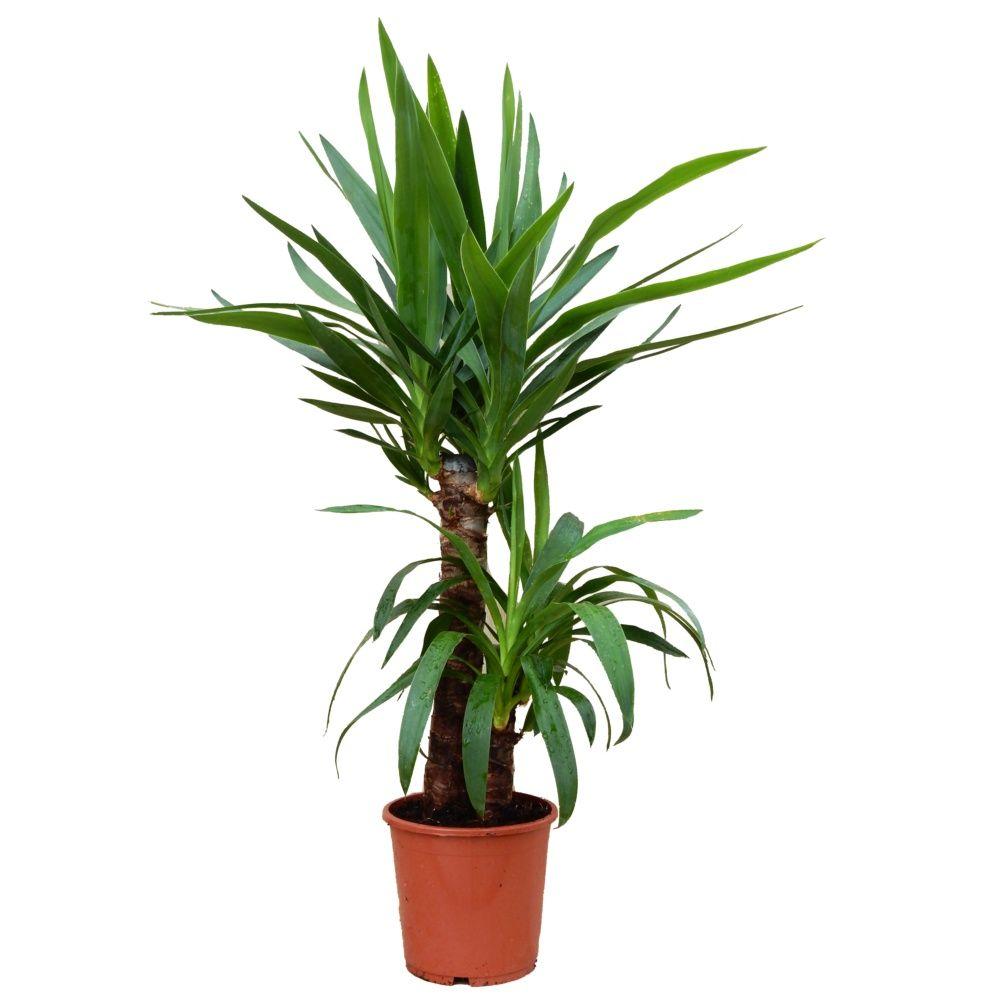 Yucca 2 cannes en pot de 17cm hauteur 85cm gamm vert - Les plantes d interieur ...