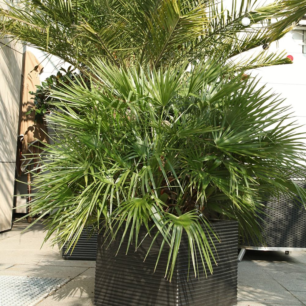 palmier nain chamaerops humilis vulcano pot de 7 litres hauteur 40 50cm gamm vert. Black Bedroom Furniture Sets. Home Design Ideas