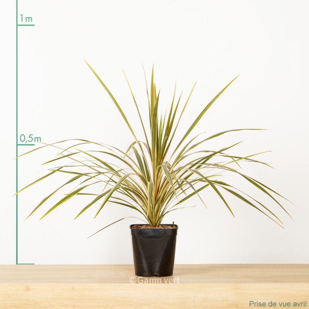cordyline australis albertii pot de 4 litres gamm vert. Black Bedroom Furniture Sets. Home Design Ideas