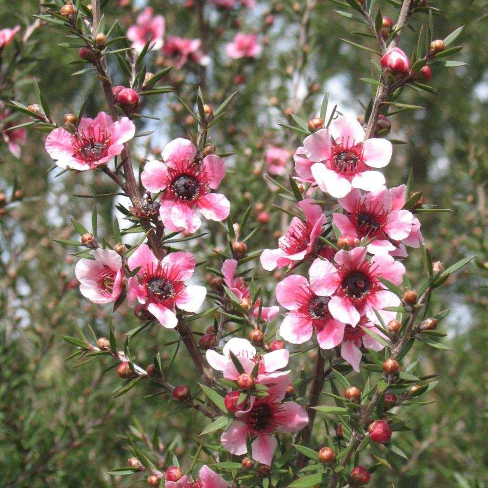 Leptospermum scoparium Martinii