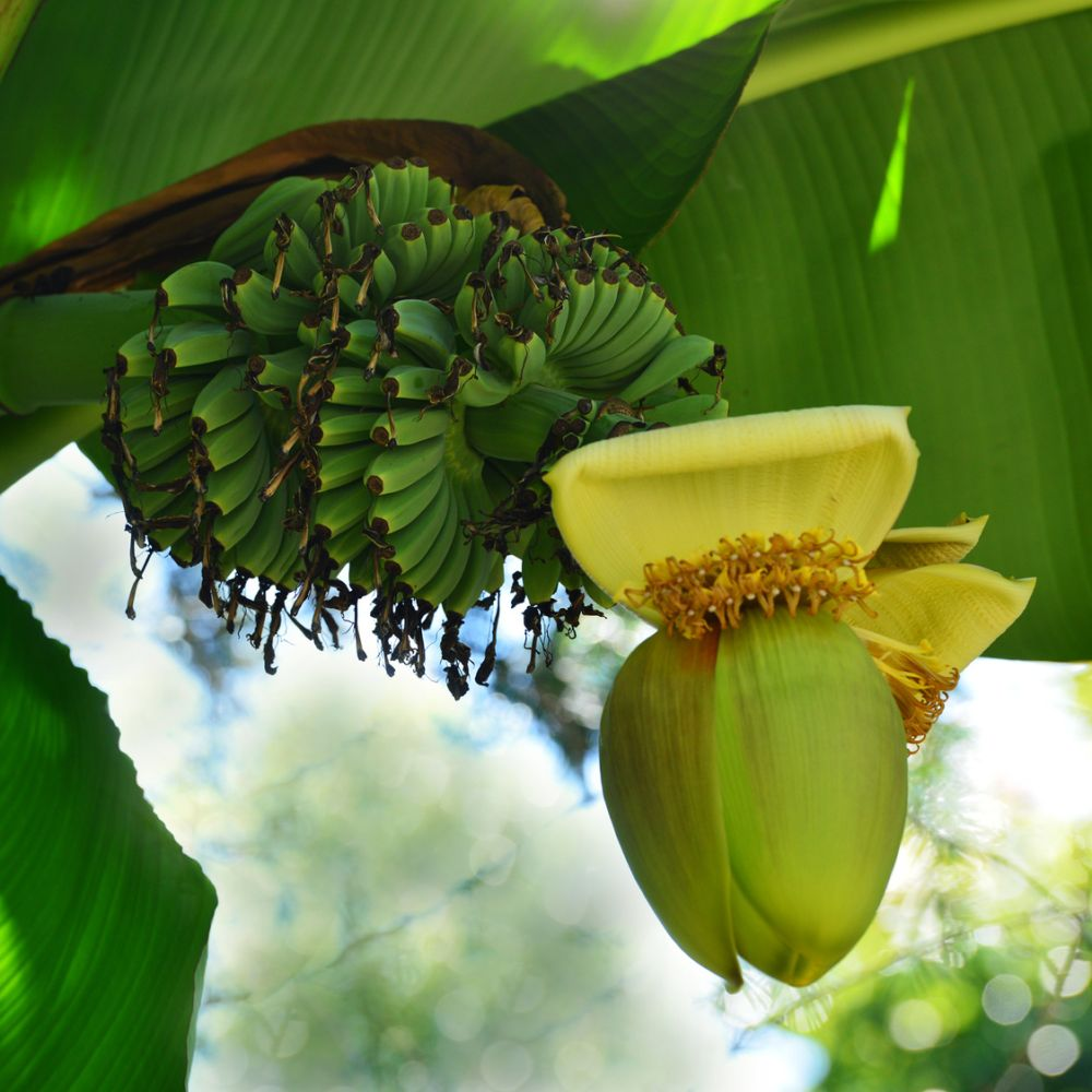 bananier musa basjoo pot de 5 litres gamm vert. Black Bedroom Furniture Sets. Home Design Ideas