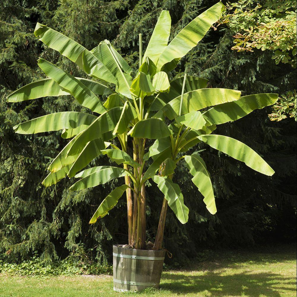 Bananier Musa basjoo Pot de 5 litres - Gamm Vert
