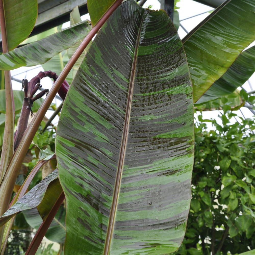 bananier musa sikkimensis red tiger pot de 5 litres - gamm vert