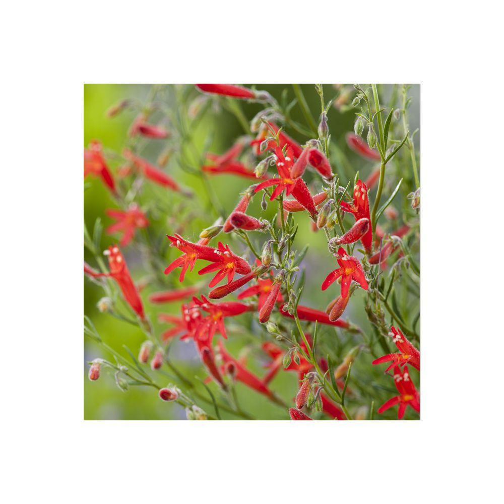 Penstemon à feuilles de pin rouge – Penstemon pinifolius
