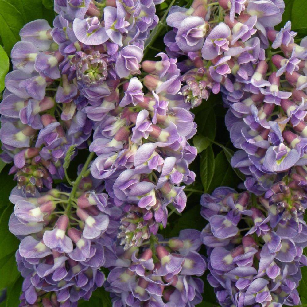 Glycine Glycine frutescens Amethyst Fall ®