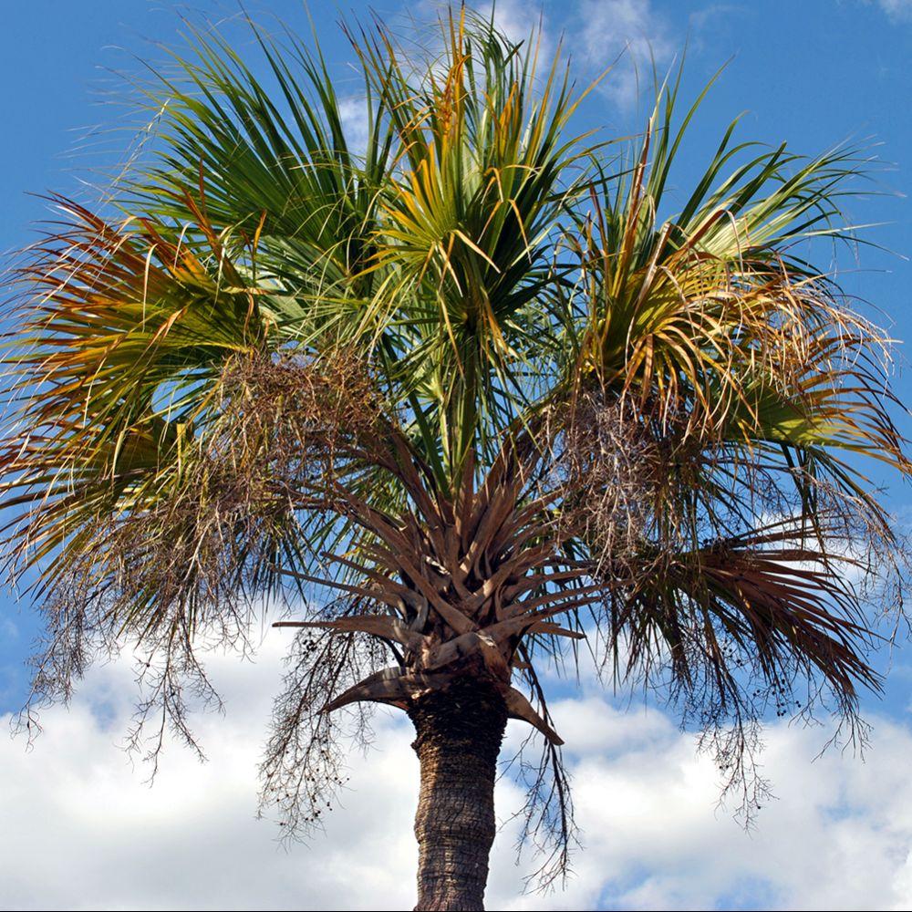 palmier du mexique washingtonia robusta pot de 7 litres hauteur 60 70cm gamm vert. Black Bedroom Furniture Sets. Home Design Ideas