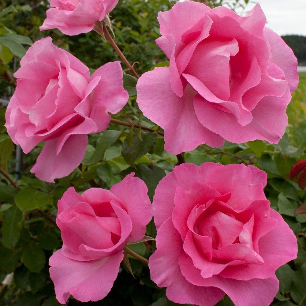 Rosier 'The Mac Cartney rose ®' Meizeli – Rosier Meilland