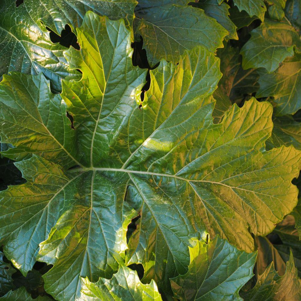 Acanthus mollis lot de 3 godets de 7 cm gamm vert for Plante exotique exterieur rustique