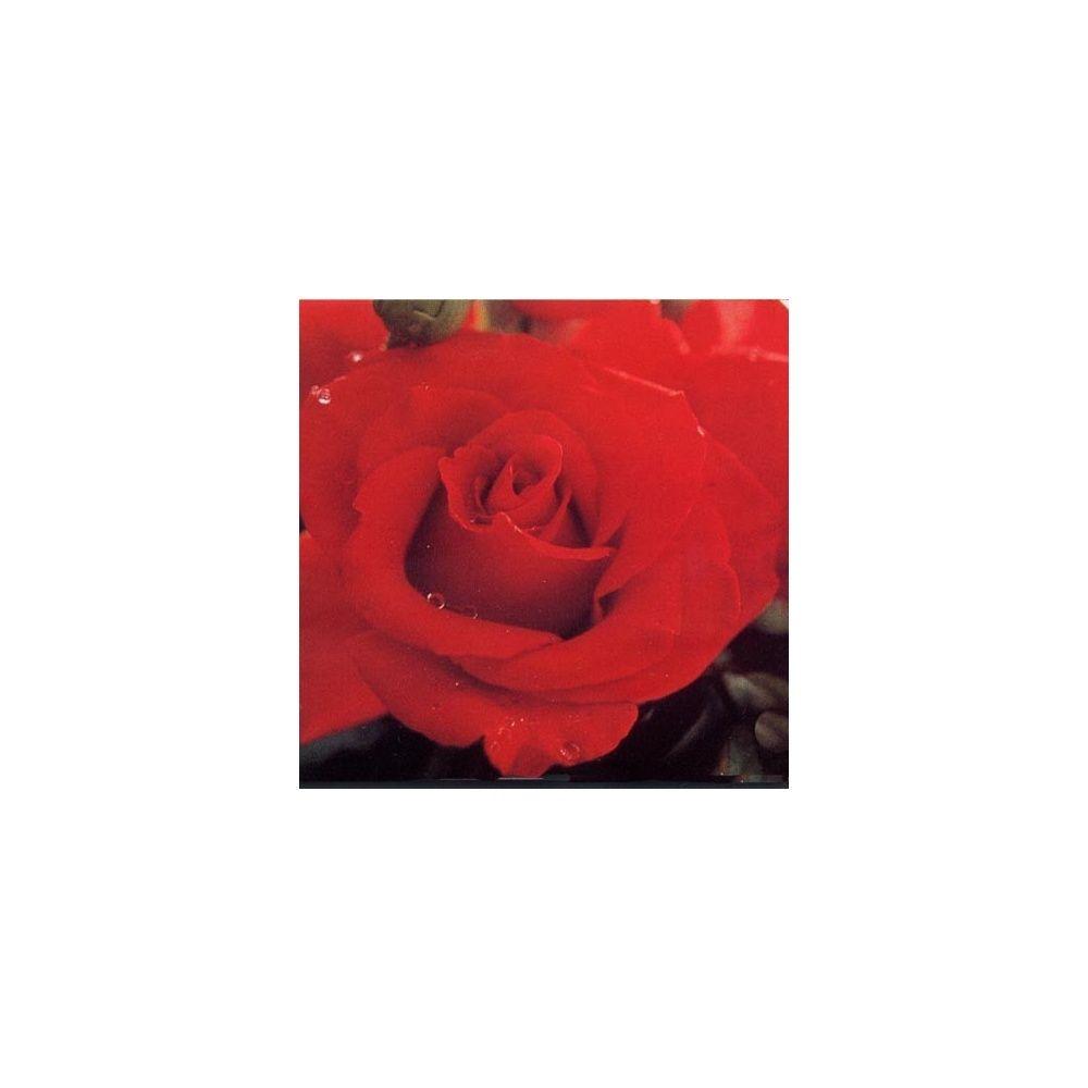Rosier 'Veterans' Honor ®' – Rosier Guillot