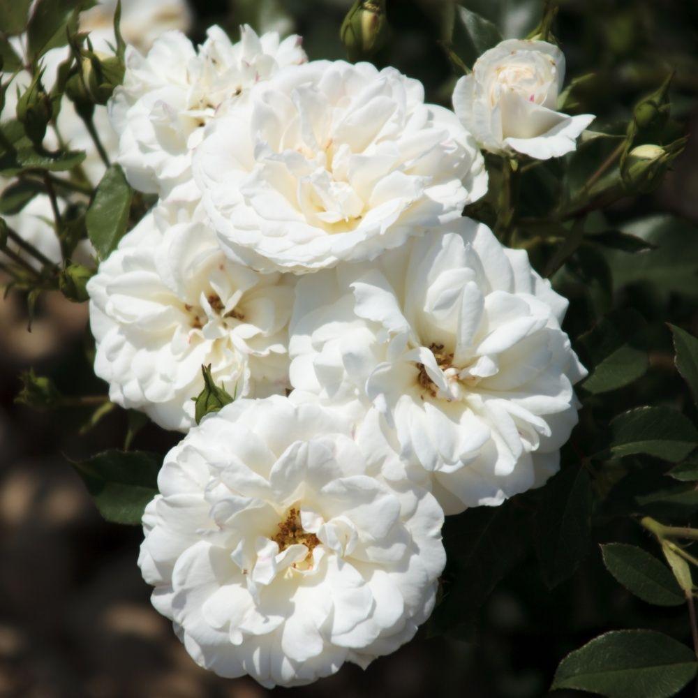 Rosier 'Carte blanche ®' Meibarum – Rosier Meilland