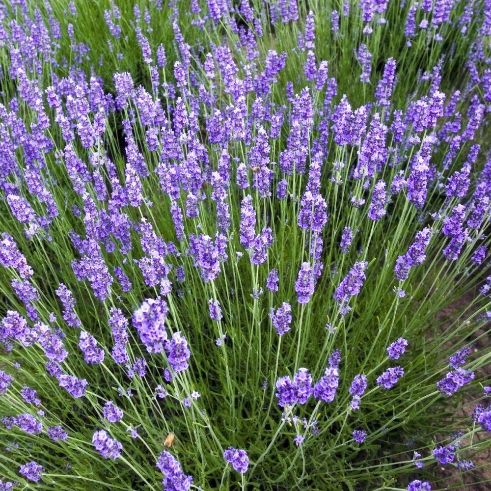 Lavande angustifolia blue scent en pot de 0 75 litre - Planter lavande en pot ...