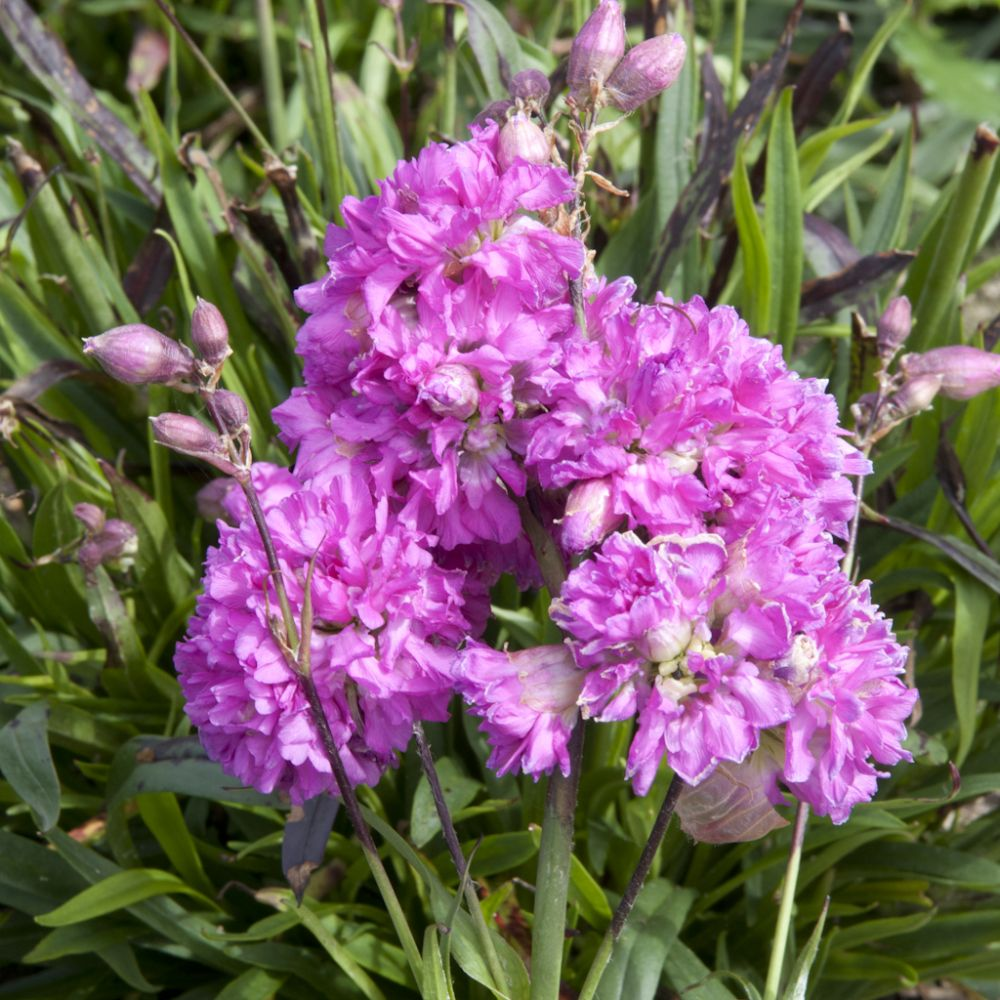 Lychnis viascaria fleurs doubles carmin