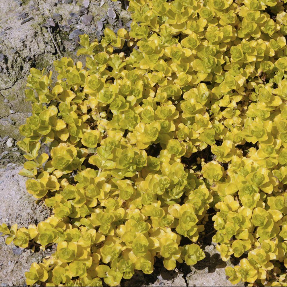 Lysimaque jaune feuillage dore