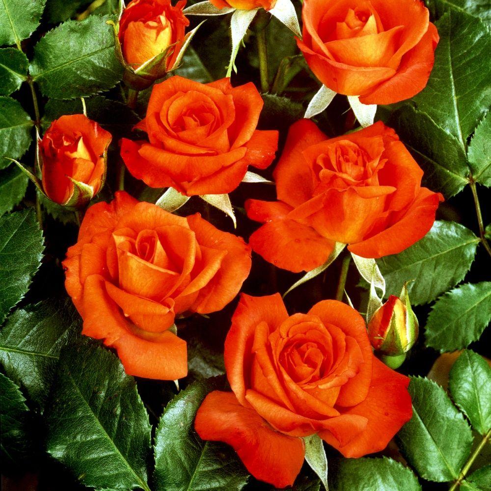 Rosier 'Rusticana ®' Poppy flash – Rosier Meilland
