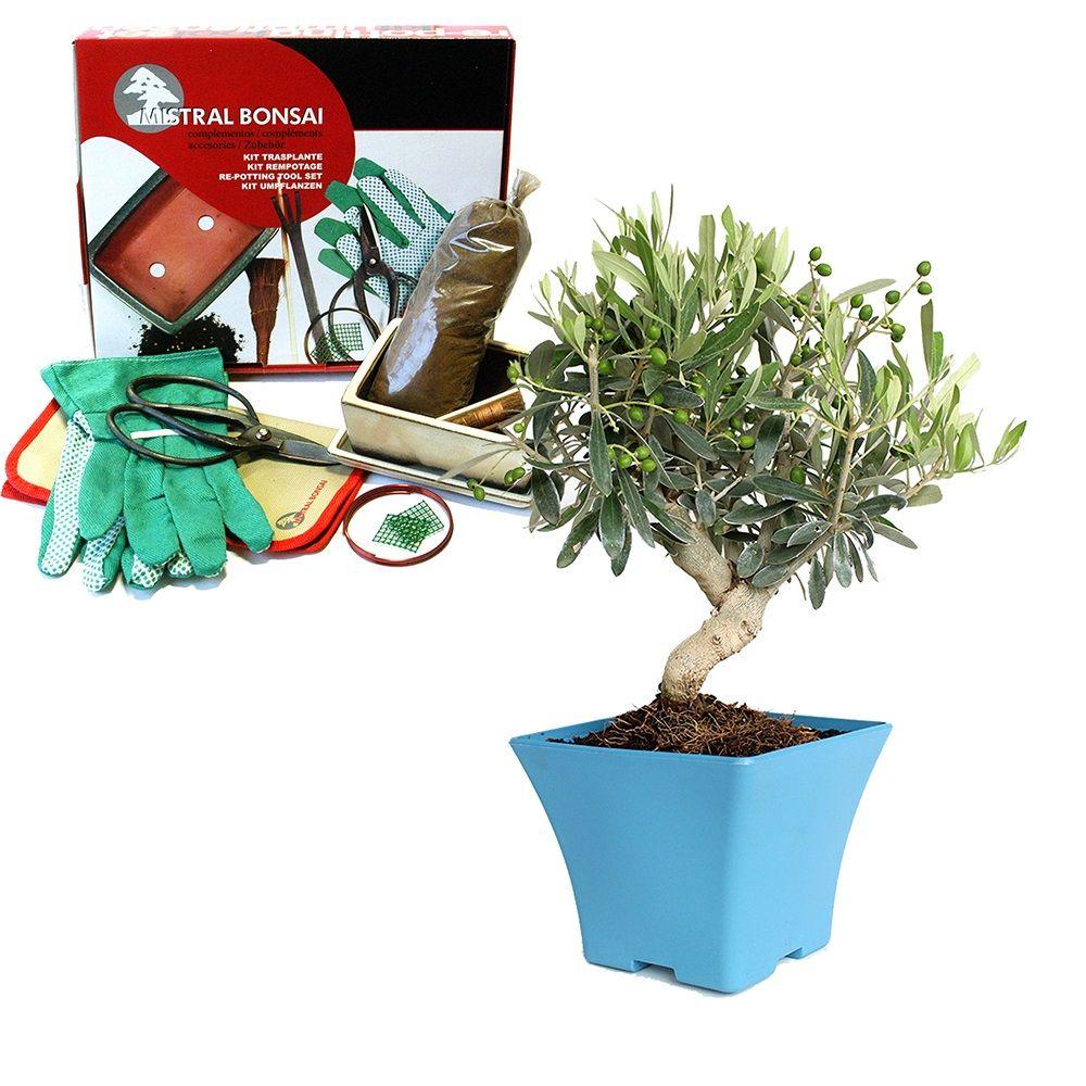 kit cr ez votre premier bonsa olivier pr bonsa olivier 6 ans kit de rempotage gamm vert. Black Bedroom Furniture Sets. Home Design Ideas