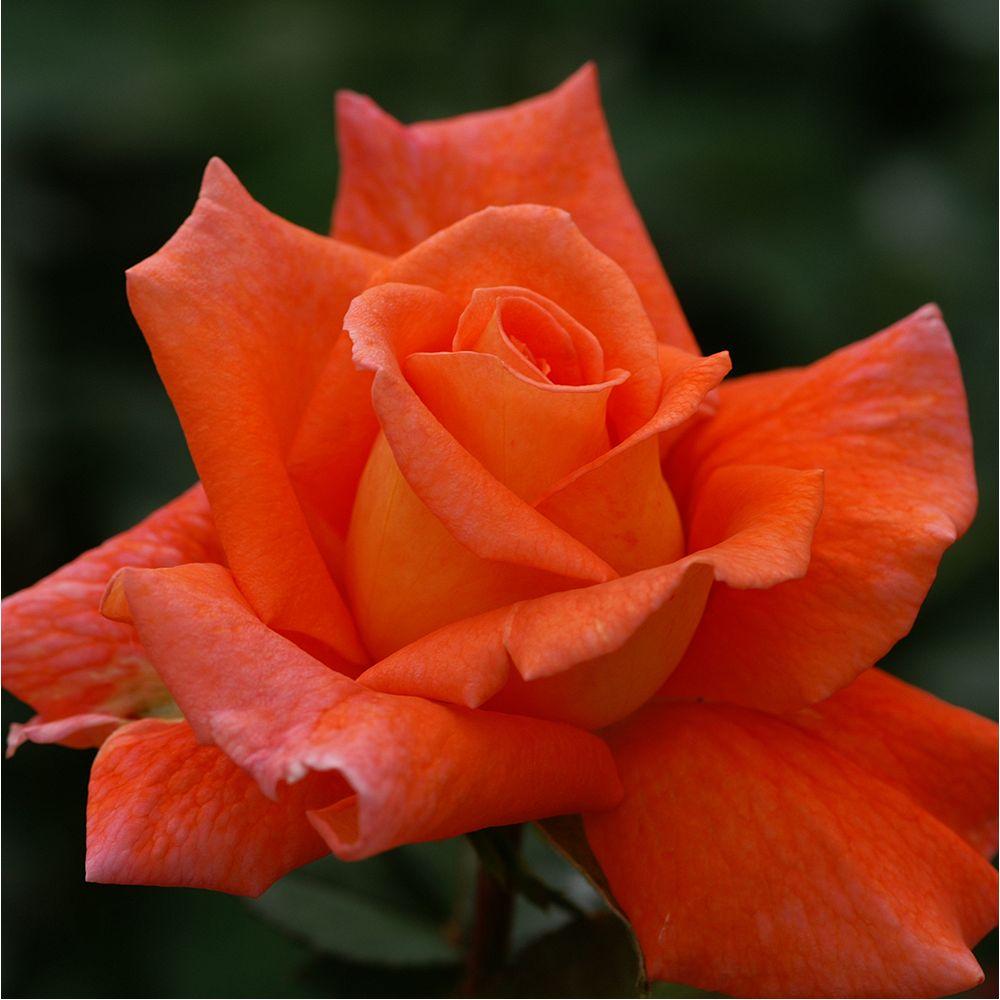 Rosier 'Orange sensation' – Rosier Meilland