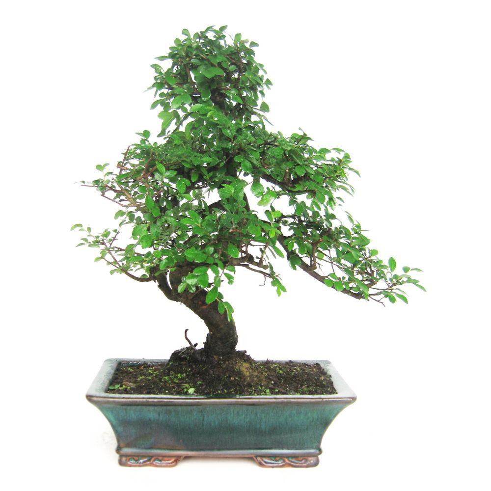 http://photos.gammvert.fr/v5/products/full/42556-bonsai-dinterieur-zelkova-10-ans-boite-cadeau-2.jpg