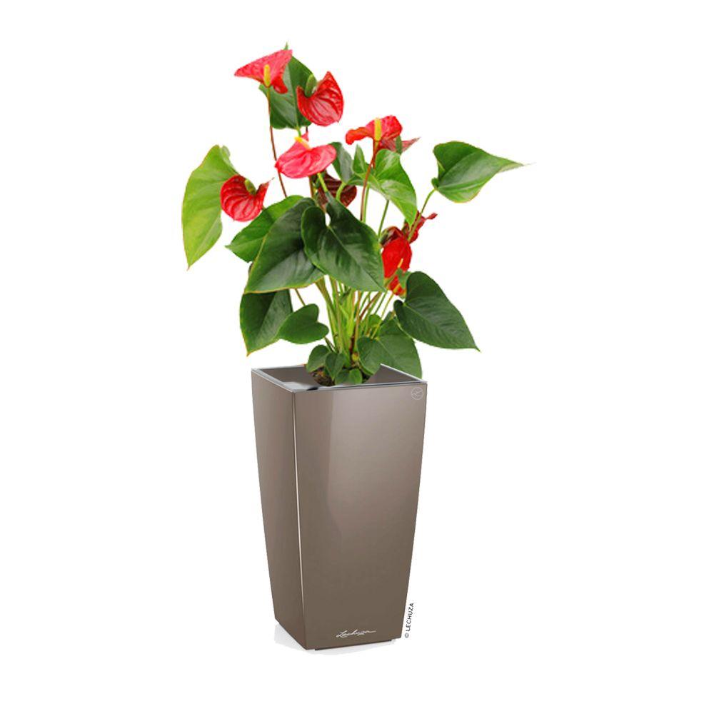 Anthurium rouge rempoté dans pot Lechuza MaxiCubi taupe brillant