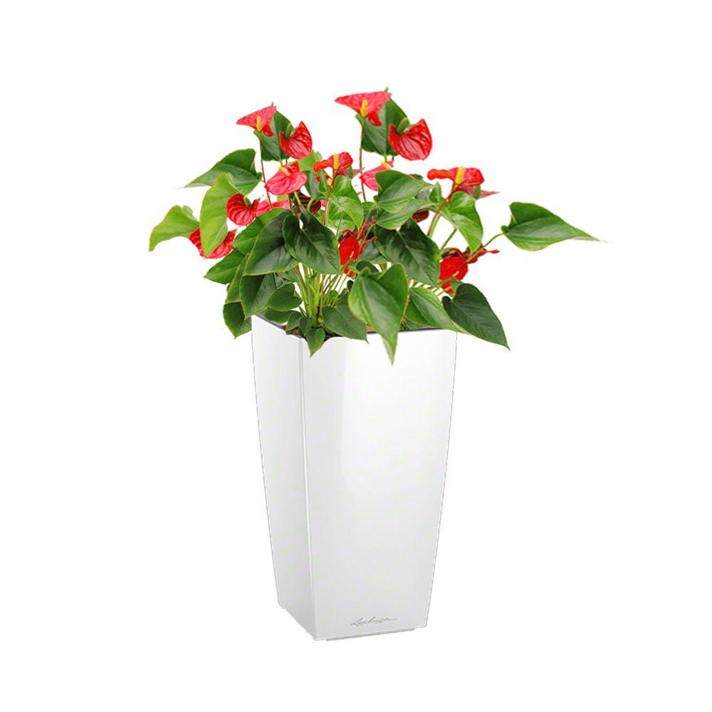 Anthurium rouge x 3 rempoté dans pot Lechuza Cubico Color 30 blanc