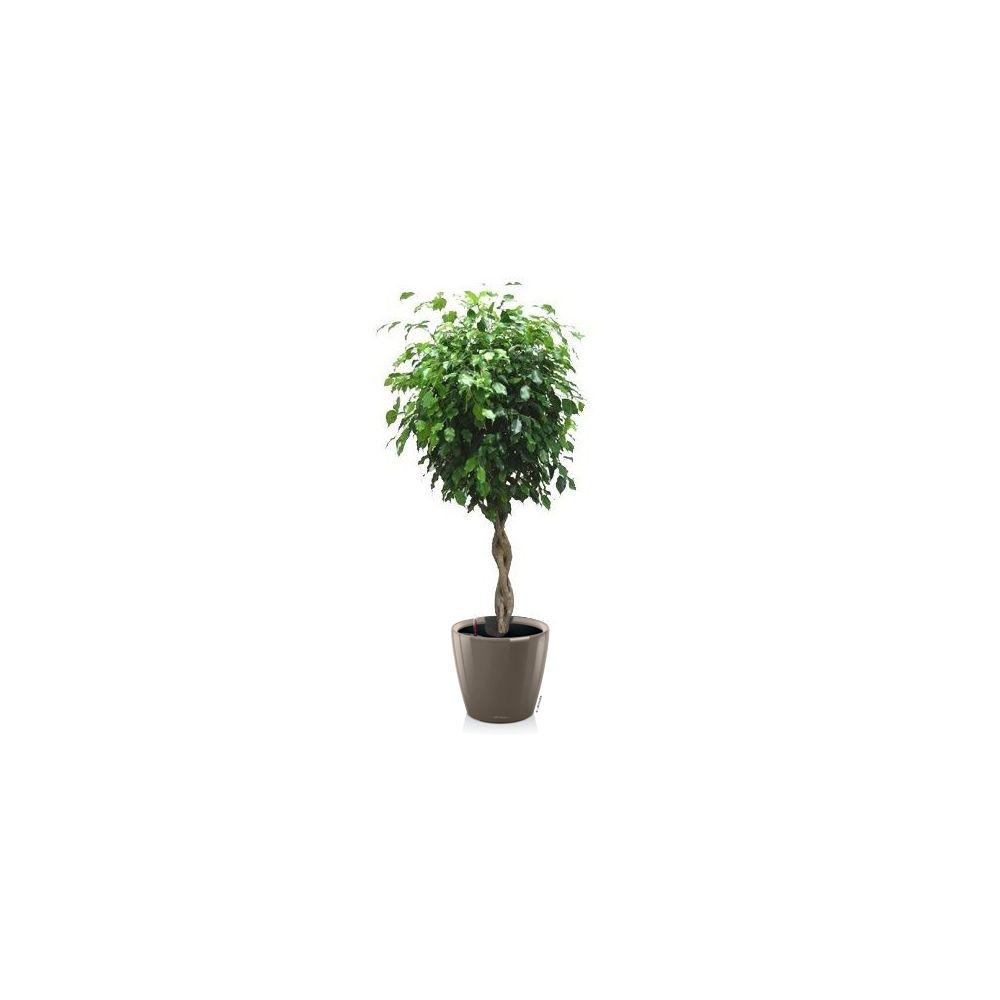 Ficus tressé rempoté dans pot Lechuza Classico Premium taupe