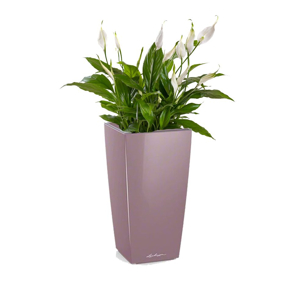 Spathiphyllum rempoté dans pot Lechuza MaxiCubi Mauve brillant