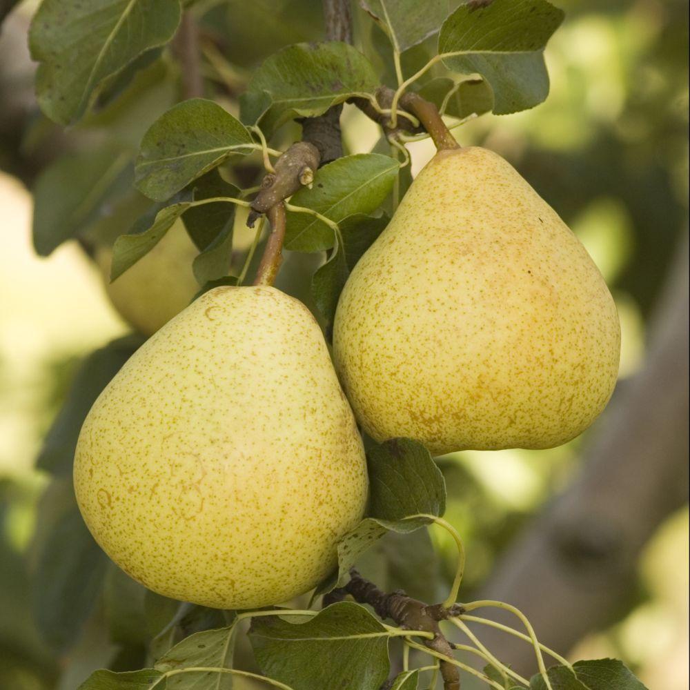 Poirier Delbardelice ® – delété – Fruitier Georges Delbard