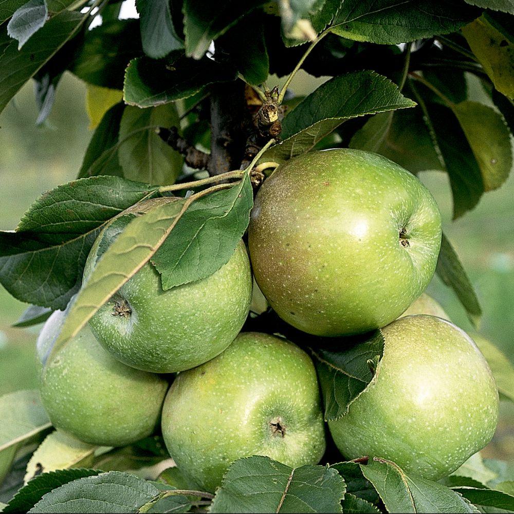 Pommier colonnaire Amboise ® – delcogra – Fruitier Georges Delbard