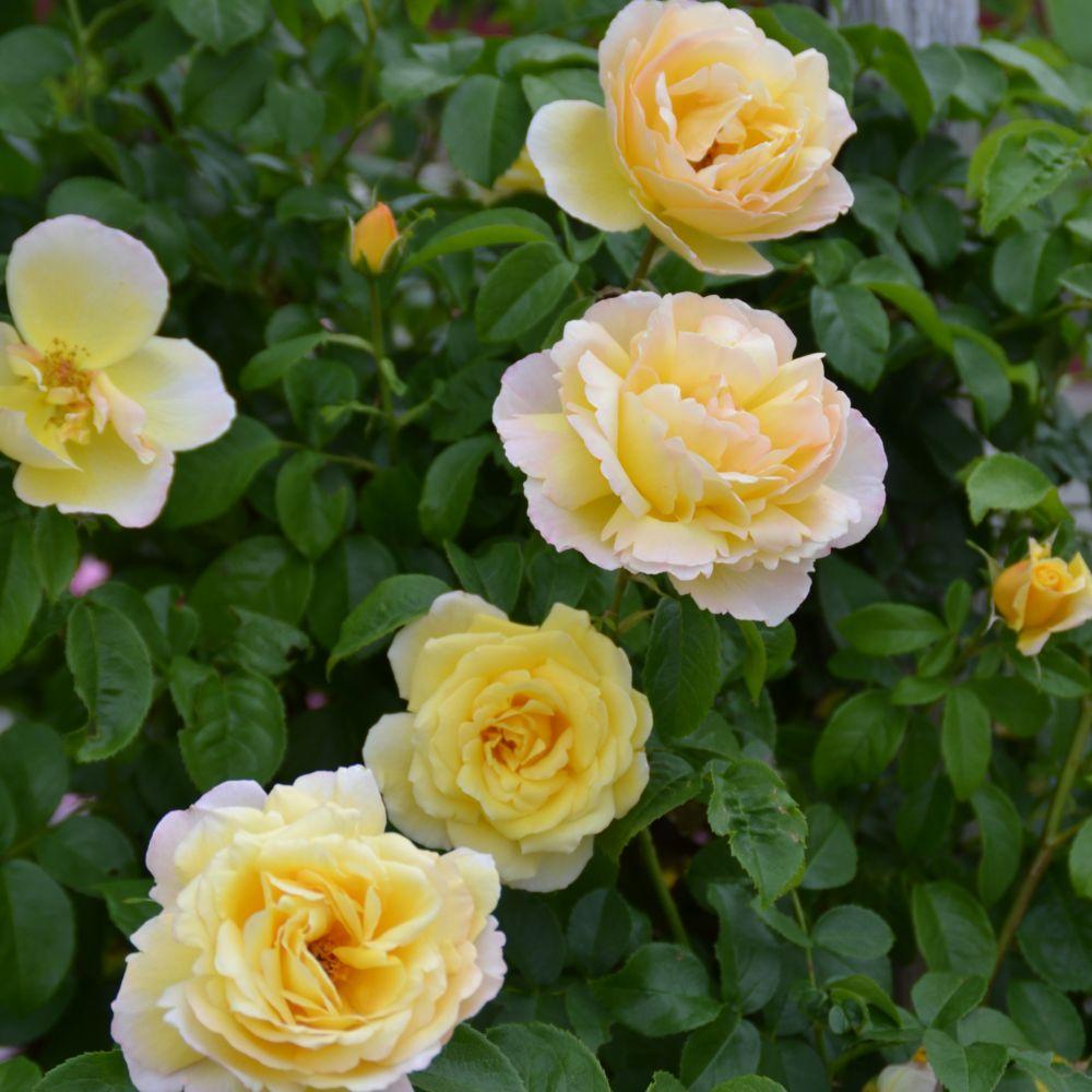 Rosier Grimpant Soleil vertical ® – delsar – Rosier Georges Delbard