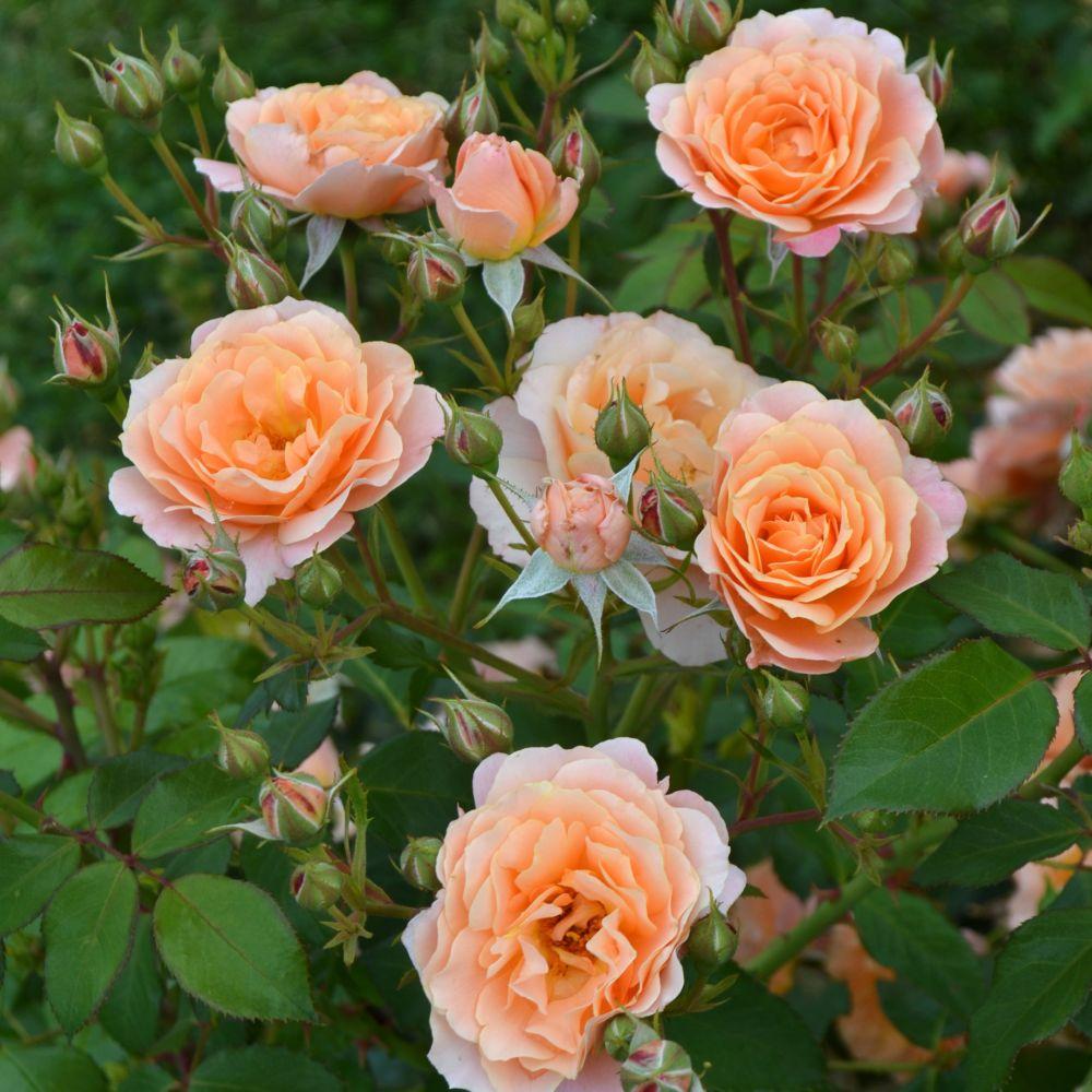 Rosier Bordure Abricot ® – delbora – Rosier Georges Delbard