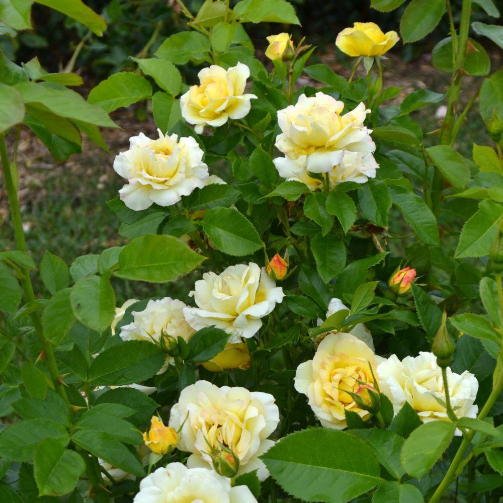 Rosier Centenaire de Lourdes ® Jaune – deljaune – Rosier Georges Delbard