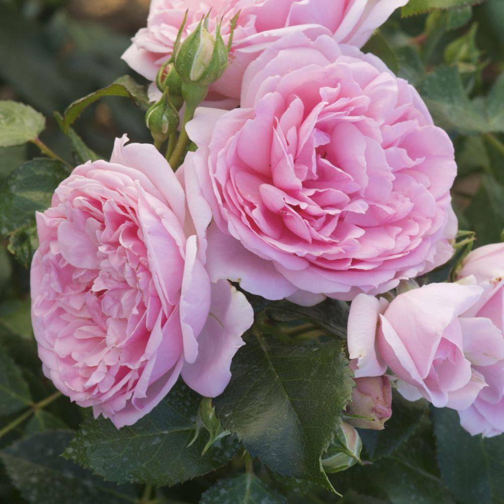 Rosier Comtesse De Ségur ® – deltendre – Rosier Georges Delbard