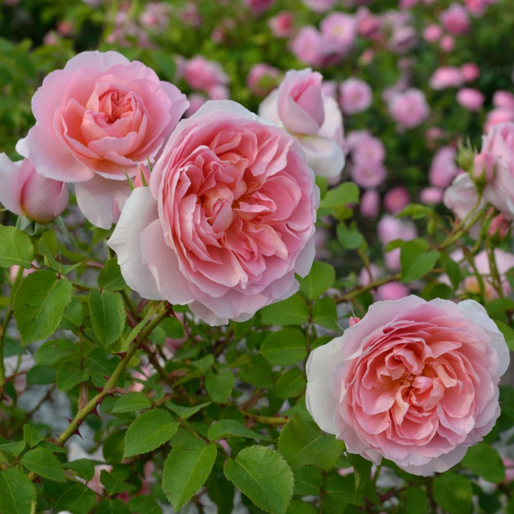 Rosier Dames de Chenonceau ® – delpabra – Rosier Georges Delbard