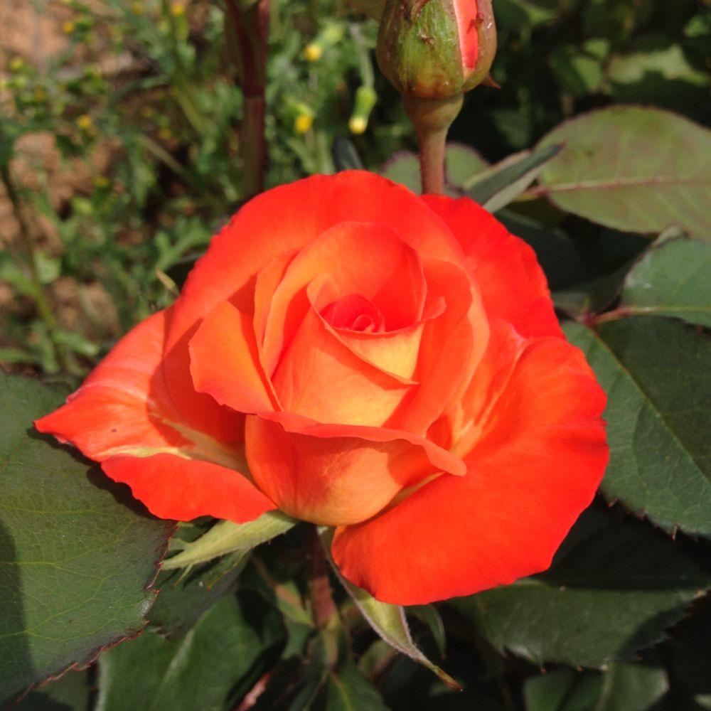 Rosier France Libre ® – deljaunor – Rosier Georges Delbard