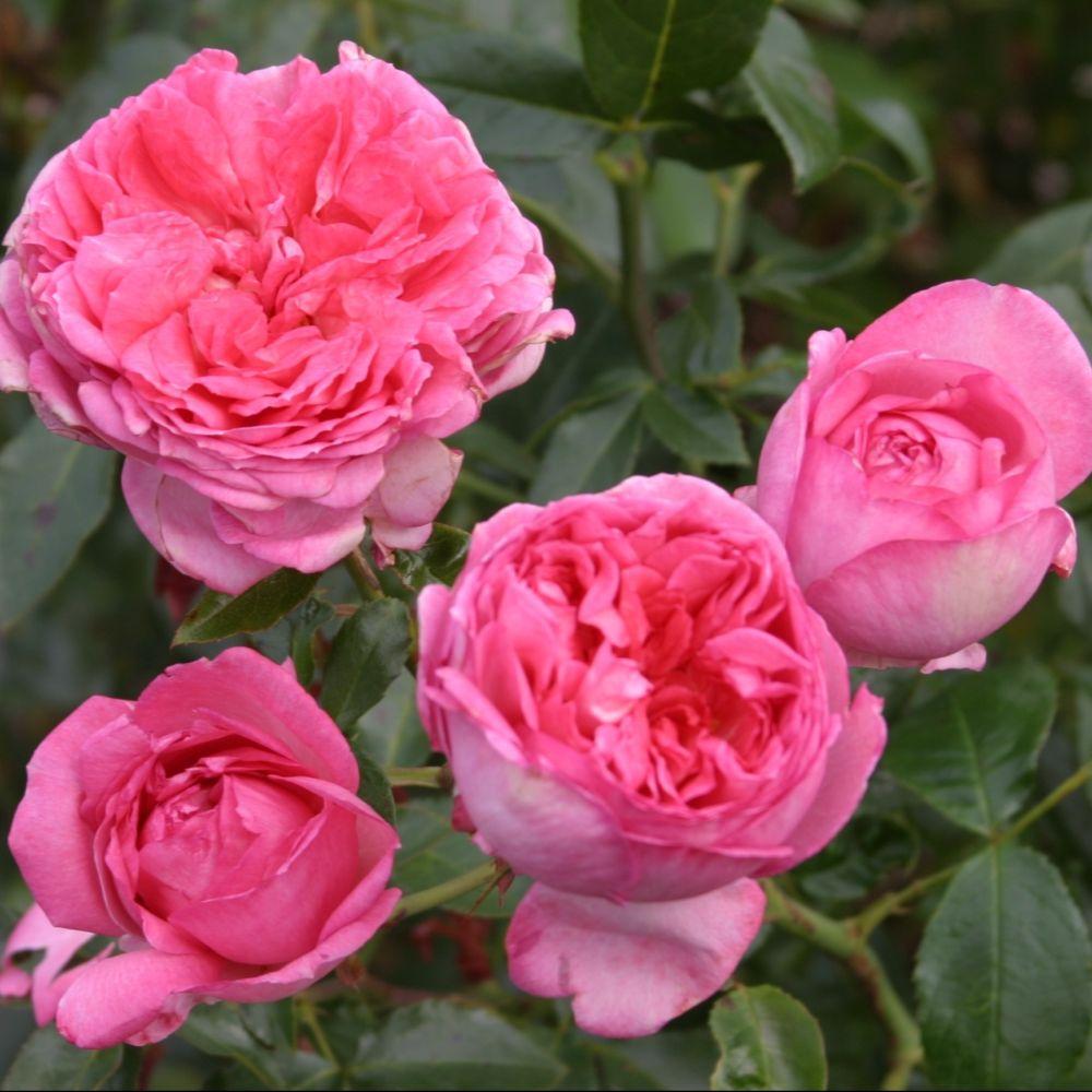 Rosier La Rose de Molinard ® – delgraros – Rosier Georges Delbard