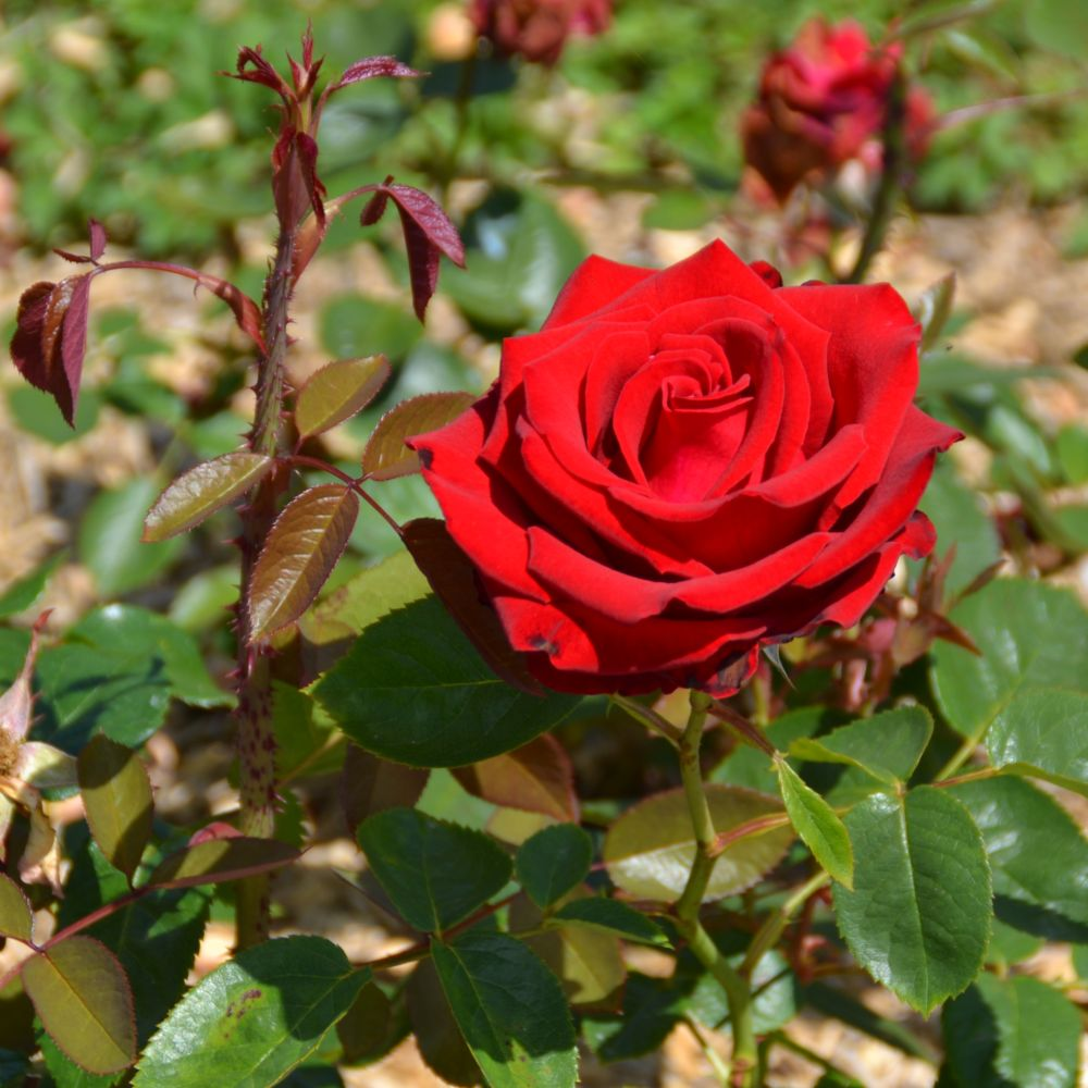 Rosier Madame Delbard ® – deladel – Rosier Georges Delbard
