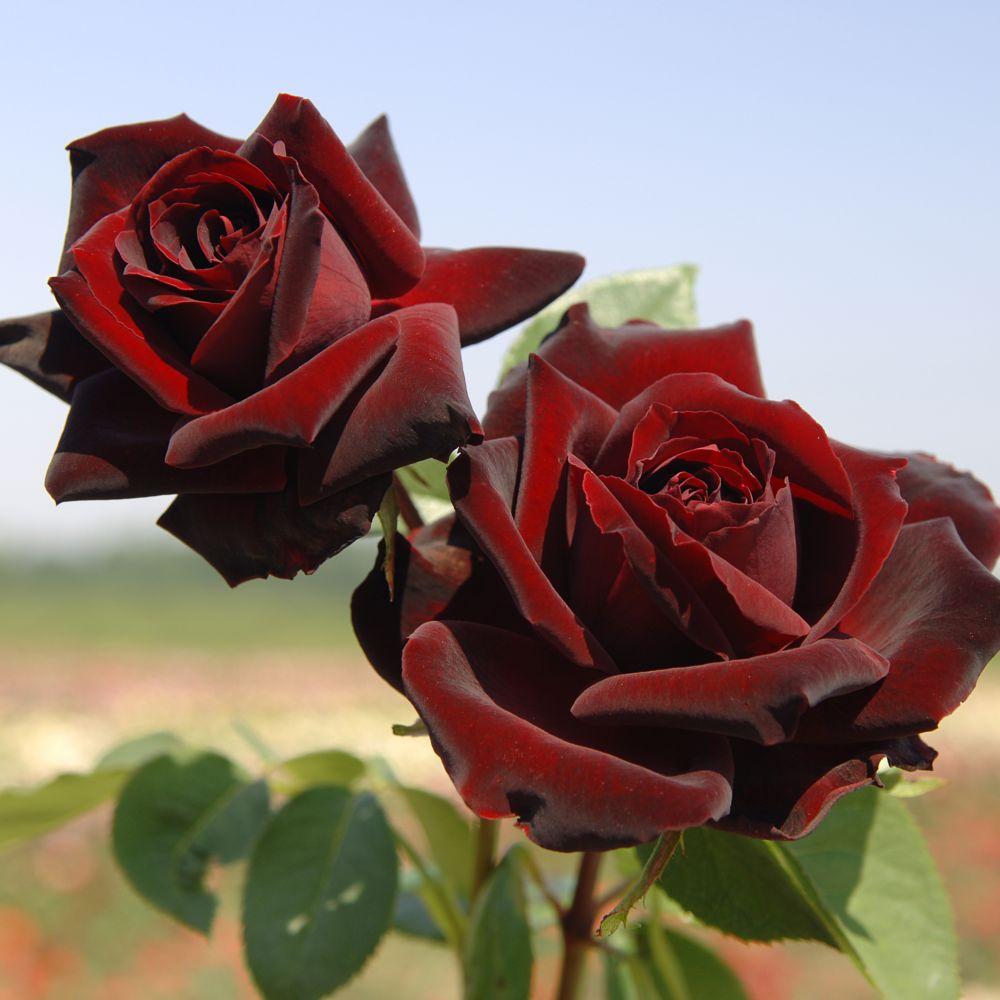 Rosier noire acheter - Puceron rosier savon noir ...