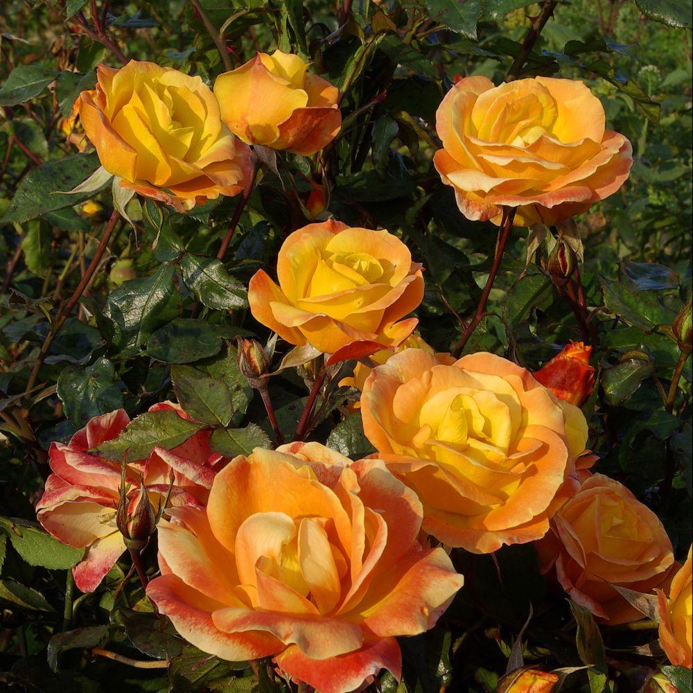 Rosier Soleil du Monde ® – delseb – Rosier Georges Delbard