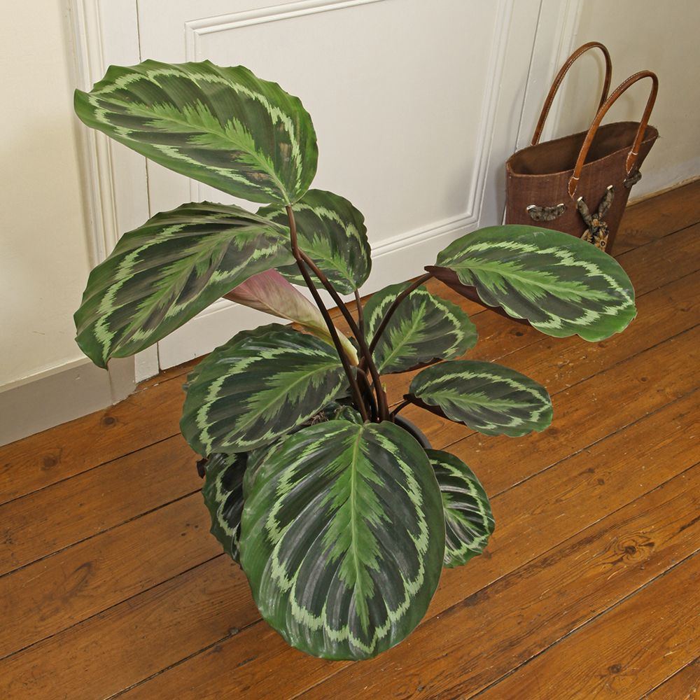 calathea medaillon pot diam tre 19 cm hauteur avec pot 75 cm gamm vert. Black Bedroom Furniture Sets. Home Design Ideas