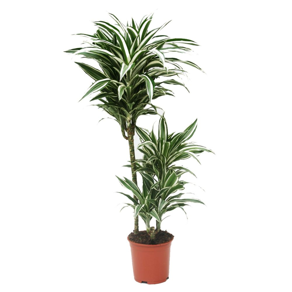 dracaena white jewel pot diam tre 21 cm hauteur 90 cm gamm vert. Black Bedroom Furniture Sets. Home Design Ideas