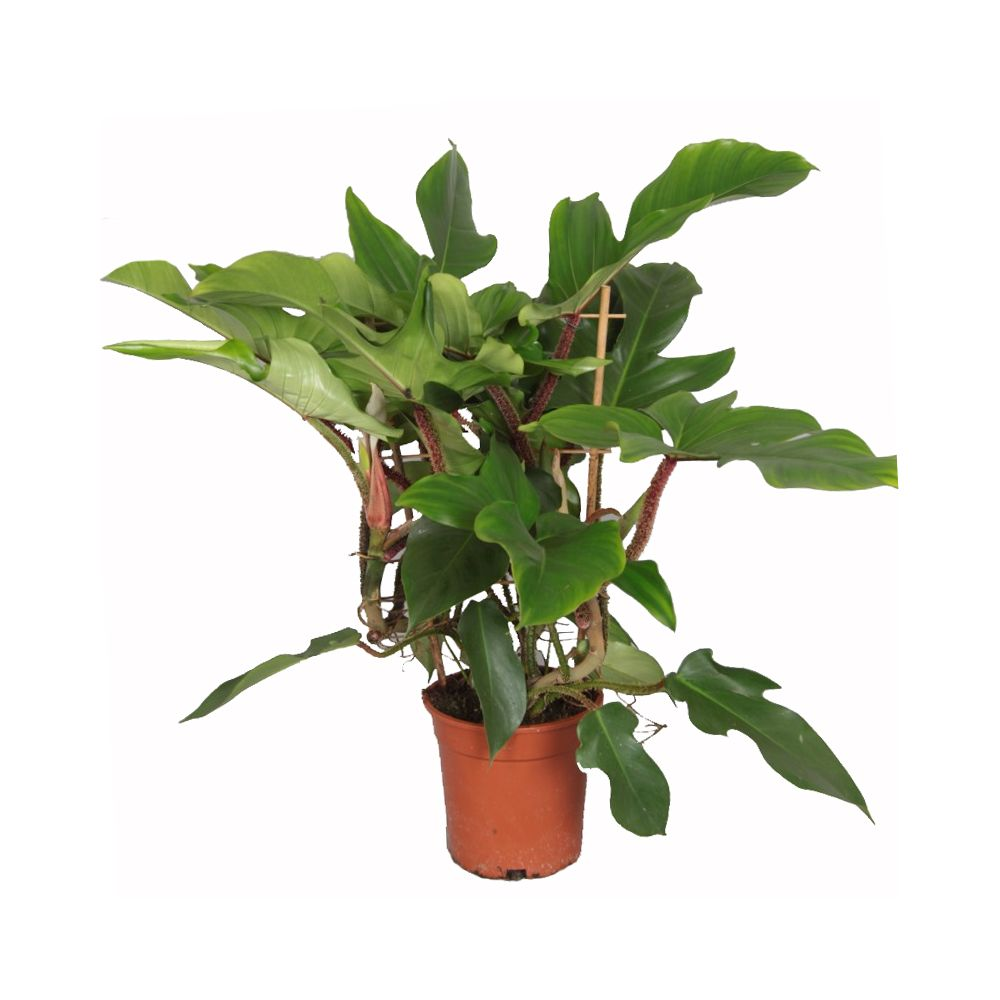 Philodendron squamiferum pot diam tre 17 cm hauteur 60 cm for Grande plante interieur