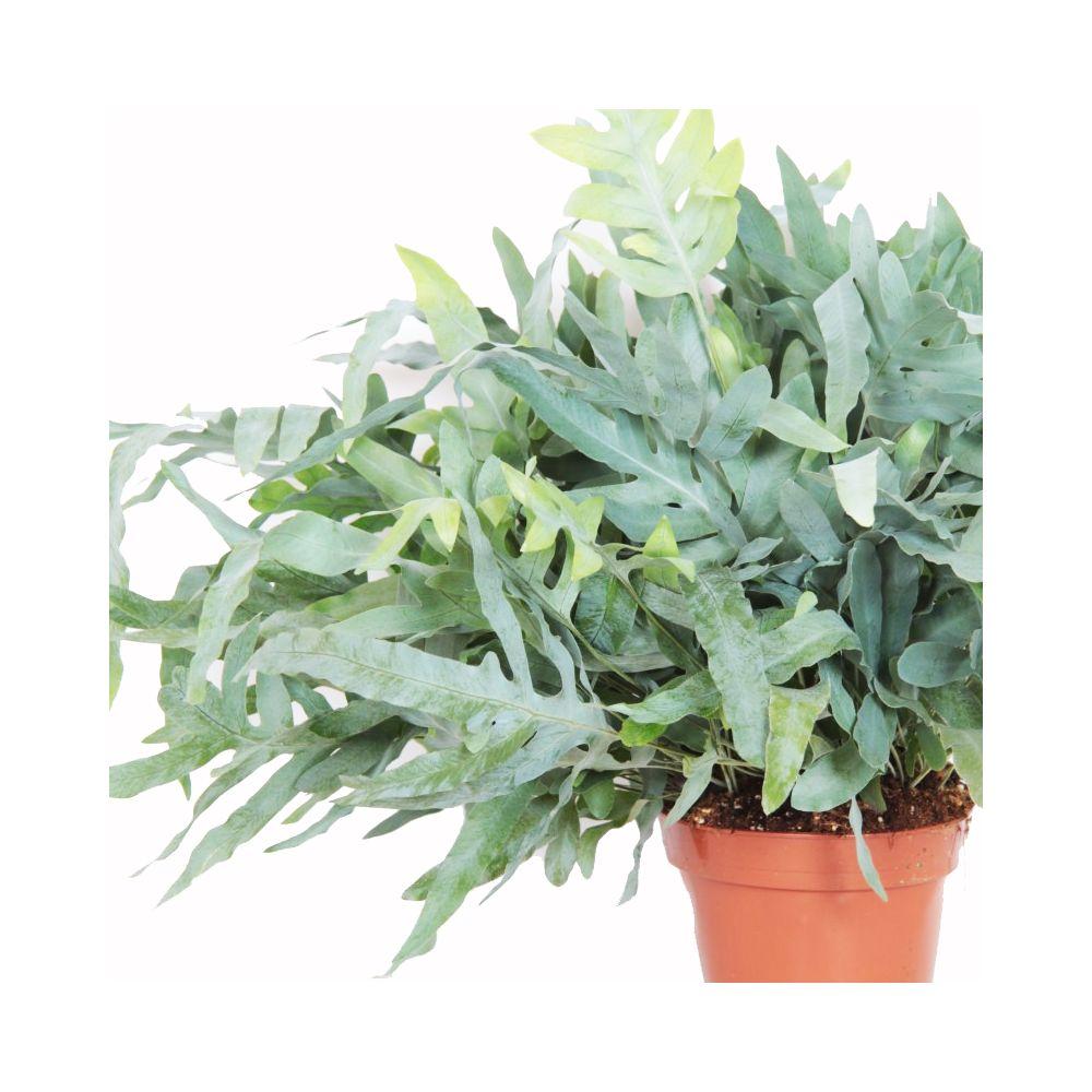 phlebodium blue star pot diam tre 17 cm hauteur 45 cm gamm vert. Black Bedroom Furniture Sets. Home Design Ideas