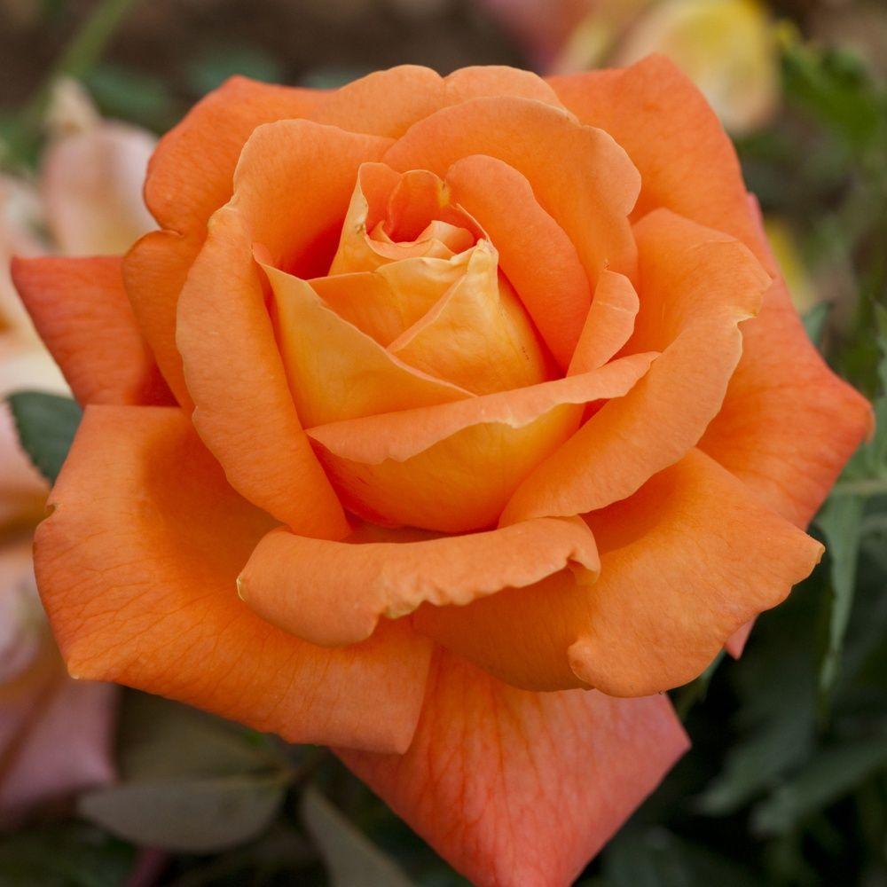 Rosier tige 'Louis de Funès ®' Meirestif – Rosier Meilland