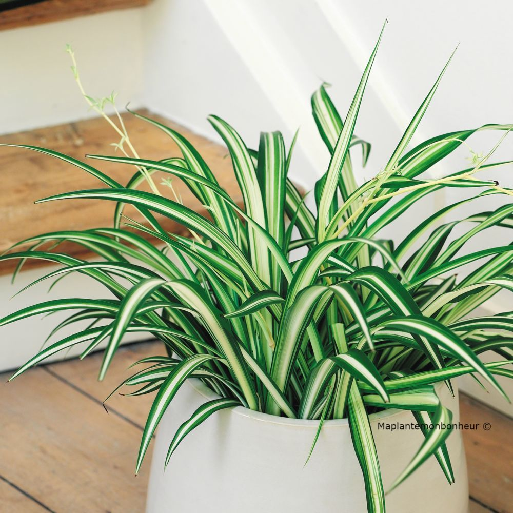 chlorophytum elatum en pot de 14 cm gamm vert. Black Bedroom Furniture Sets. Home Design Ideas