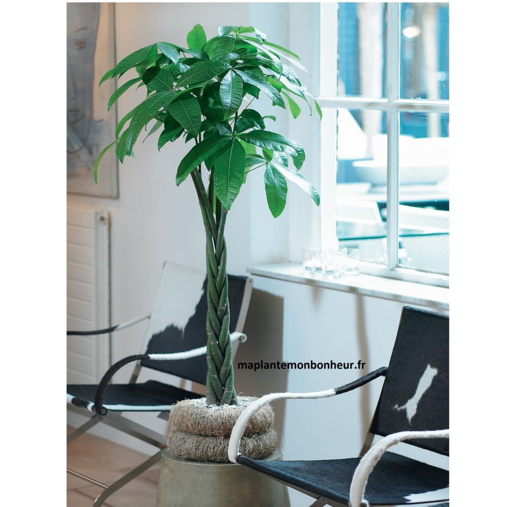 pachyra aquatica tronc tr ss en pot de 21cm hauteur avec pot 110cm gamm vert. Black Bedroom Furniture Sets. Home Design Ideas