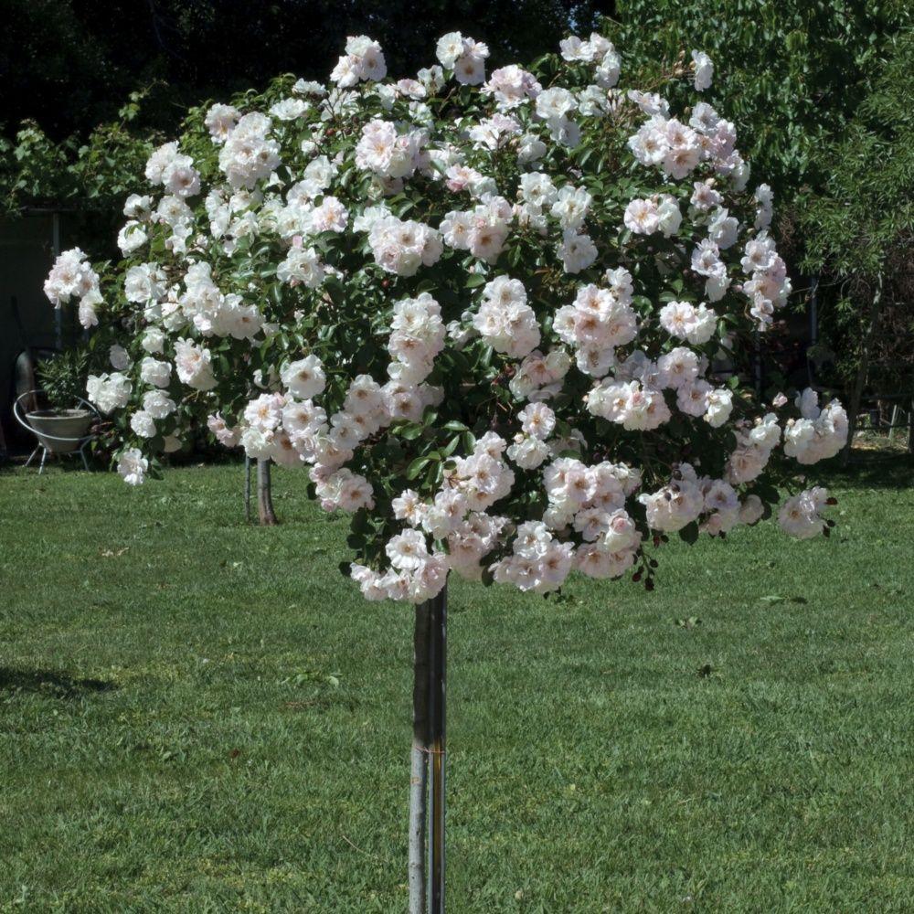 rosier tige pleureur 39 ice meillandecor 39 meivahyn rosier meilland racines nues hauteur de. Black Bedroom Furniture Sets. Home Design Ideas