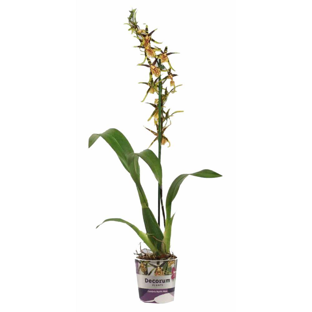 Orchidée Brassia Mystic Maze 1 tige