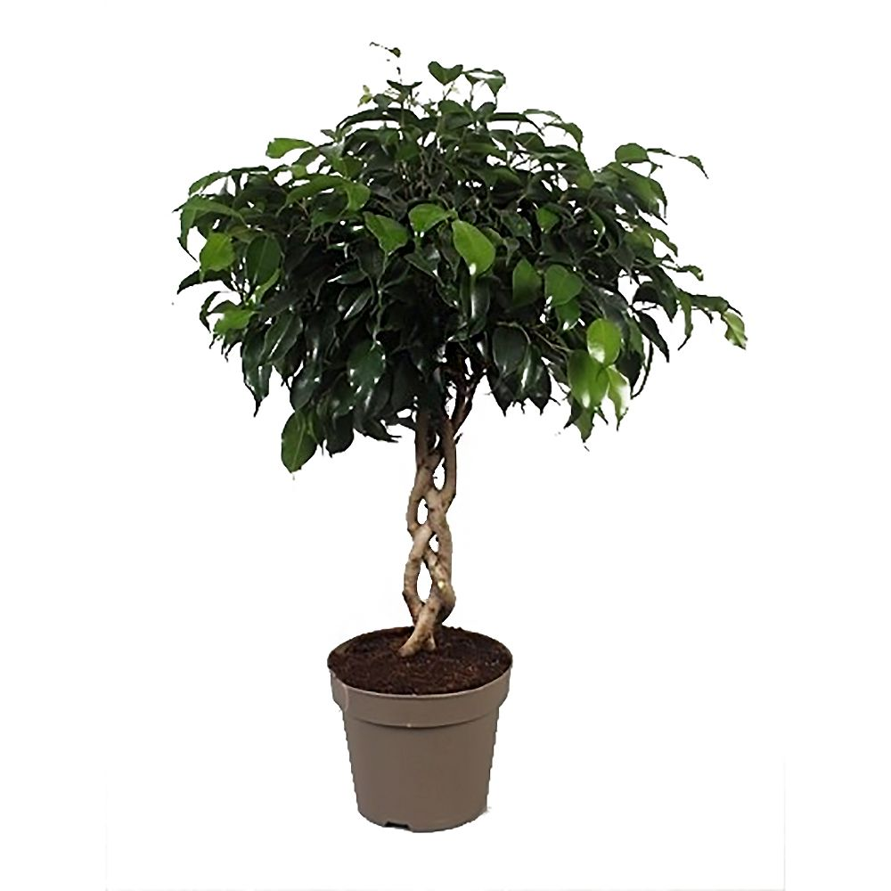 ficus danielle avec tronc tress en pot de 17cm hauteur 60cm gamm vert. Black Bedroom Furniture Sets. Home Design Ideas