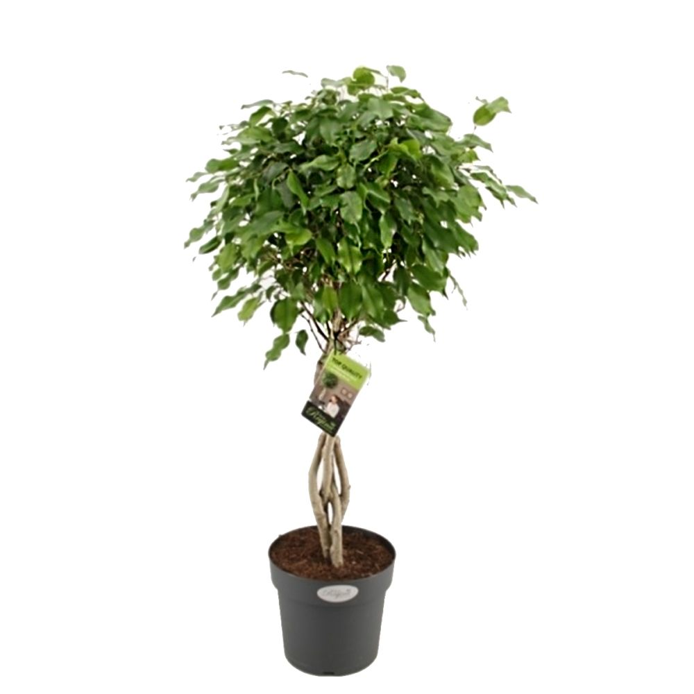ficus exotica avec tronc tress en pot de 24cm hauteur 100cm gamm vert. Black Bedroom Furniture Sets. Home Design Ideas