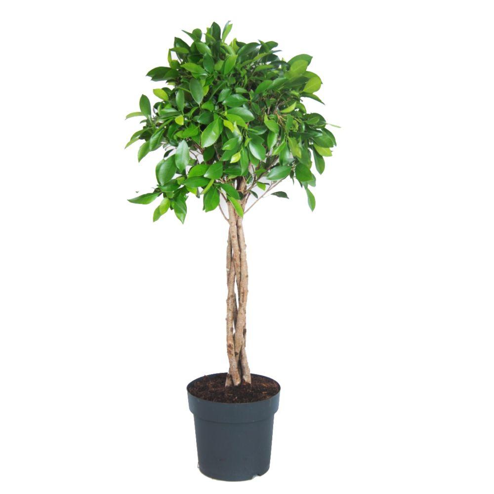 plante interieur tresse